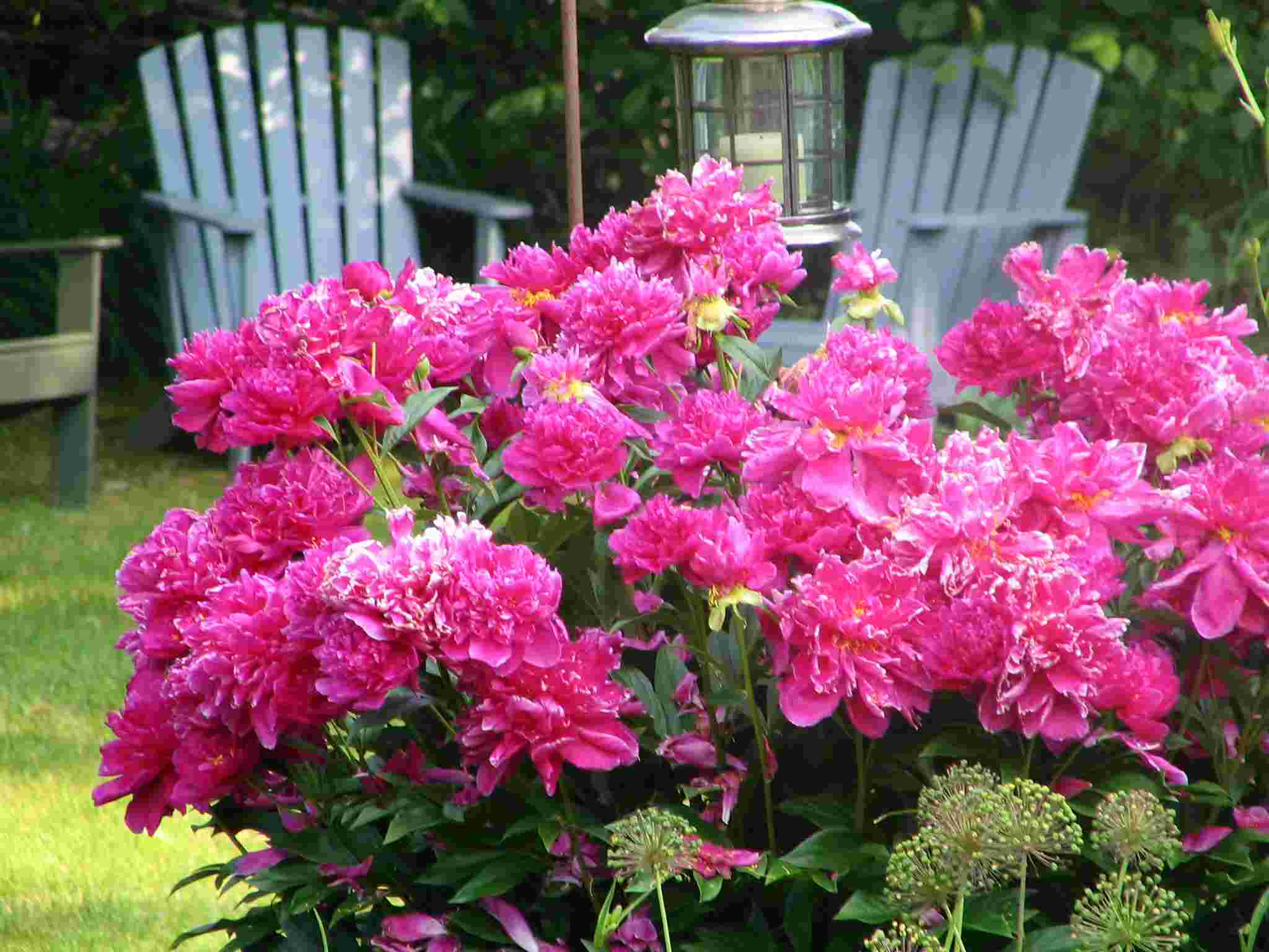 Maintaining and Using Perennial Flowers