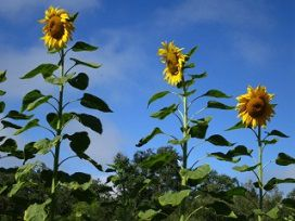 Sunflowers_0297
