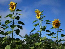 Sunflowers_0297