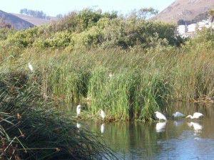 egrets in pond morro bay