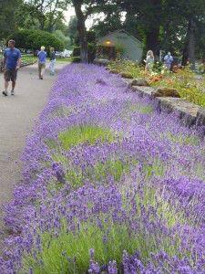 Ballou_ lavender at Bonnieville Hatchery