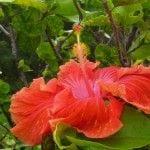 Ballou_gorgeous red hibiscus