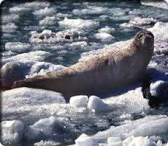 Ballou_seal on berg bits