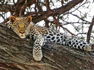 Leopard in Tree on Safari