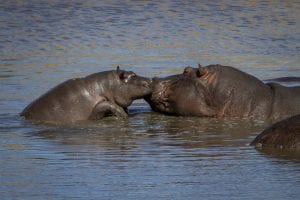 baby-hippo-with-mother-tom-schwab_1