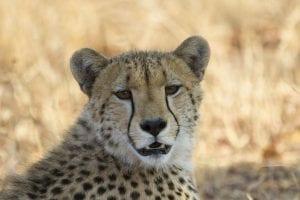 cheetah-tom-schwab_1