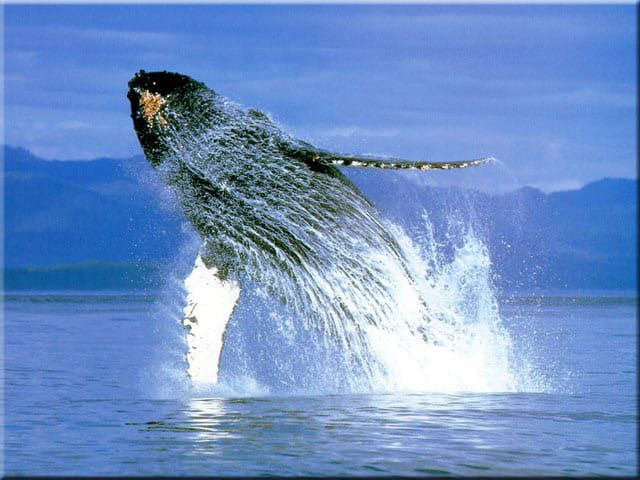 whale_breaching_humpback