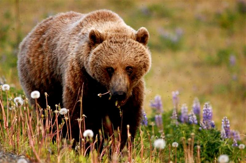 Grizzly eating flowers (Medium)