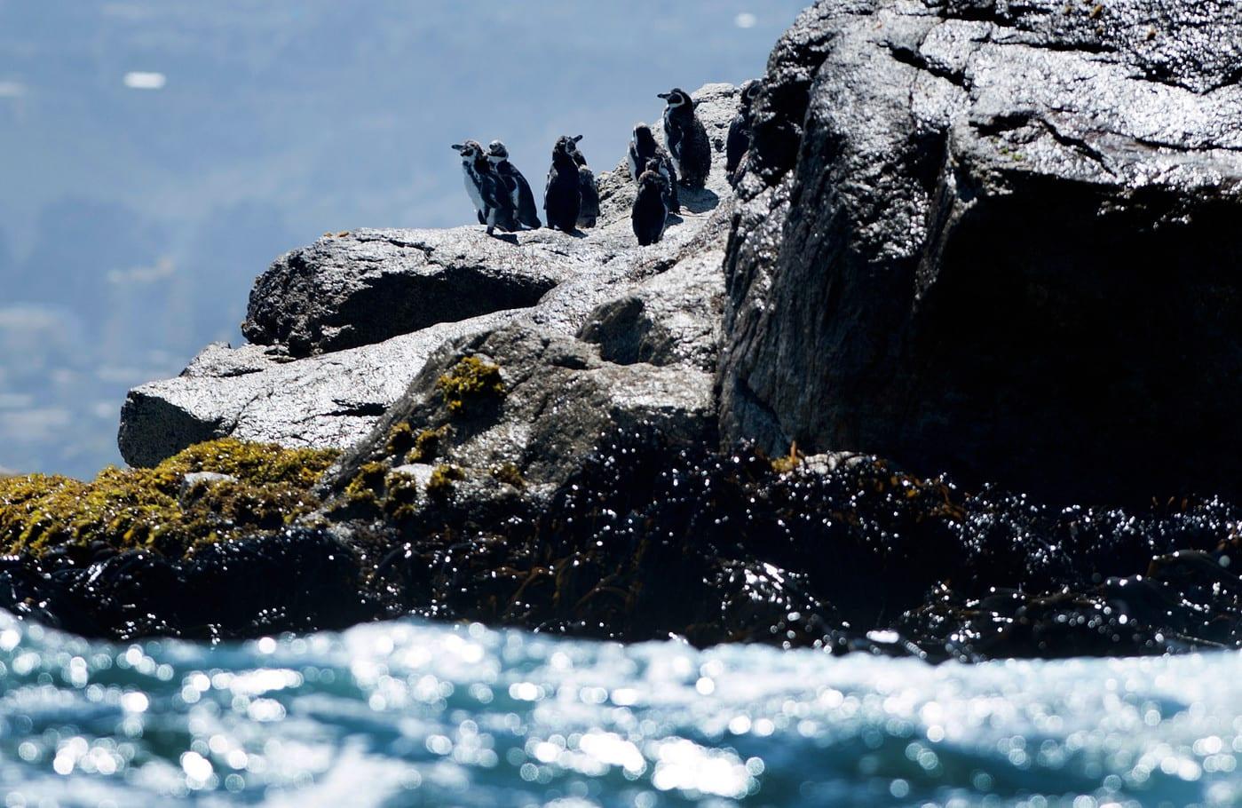 Penguins Susan Pedrick