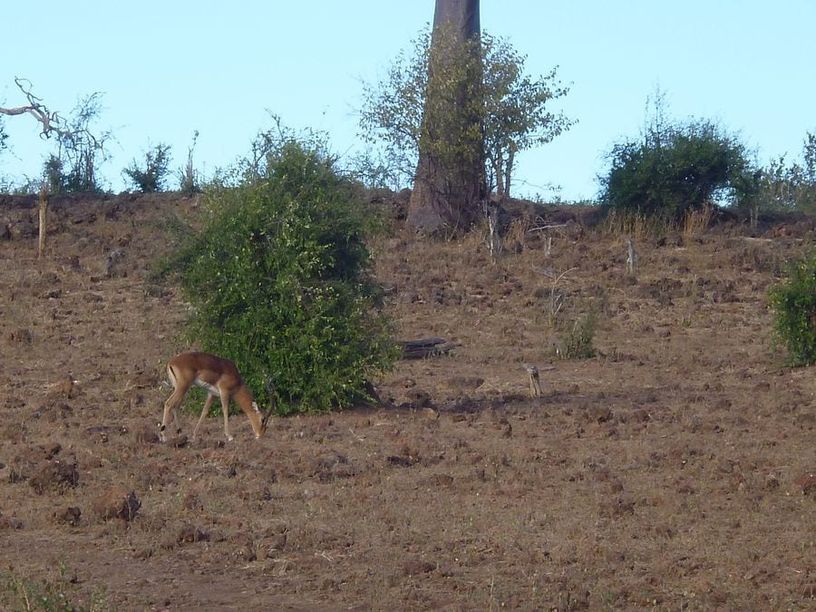Impala grazing in dead zone_1