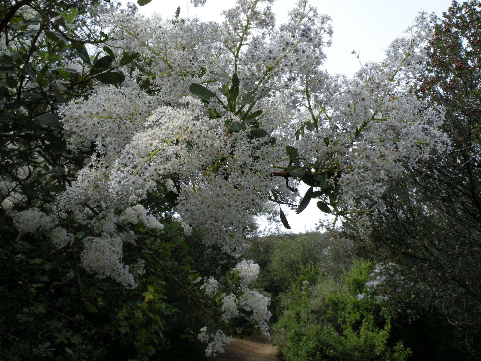 Ceanothus over trail