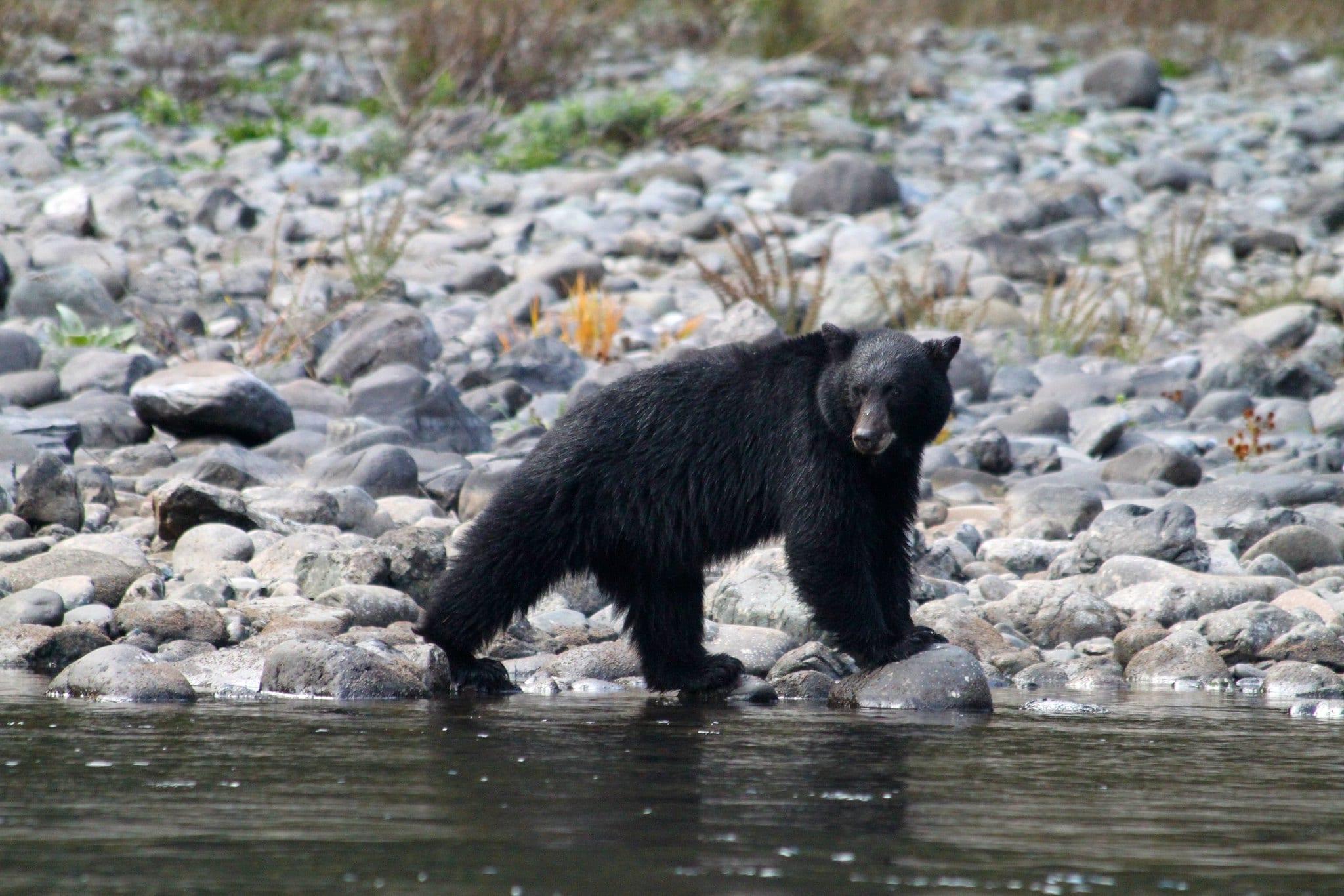 Black bear-Momentum